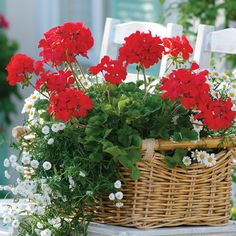 Red Geraniums...My Deed's favorite garden flower.  I plant them every year in her memory.