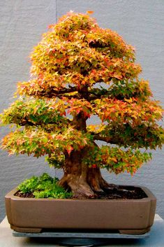 """""""Bonsai"""" is a Japanese pronunciation of the earlier Chinese term penzai. A """"bon"""" is a tray-like pot typically used in bonsai culture. The word bonsai is often used in English as an umbrella term for all miniature trees in containers or pots. Bonsai Acer, Bonsai Maple Tree, Indoor Bonsai Tree, Bonsai Plants, Bonsai Garden, Tree Garden, Succulents Garden, Air Plants, Cactus Plants"""