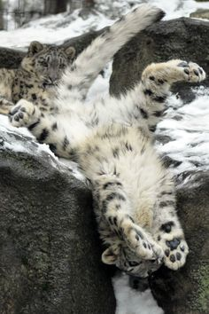 Cats - No matter how tall they are, they're all stupid! Snow leopard gymnastics 😊 - Cats – No matter how tall they are, they're all stupid! Baby Snow Leopard, Leopard Cub, Pretty Cats, Beautiful Cats, Animals Beautiful, Big Cats, Cool Cats, Cats And Kittens, Serval