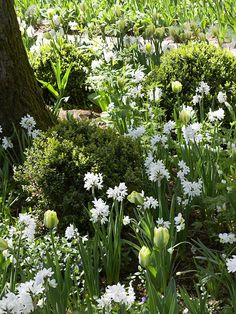 Brighten a shady spot with white-flowering bulbs. Fragrant paperwhite narcissus paired with 'Spring Green' tulip, for example, is a sure way to bring life to a corner shaded by deciduous trees. A groundcover carpet of vinca adds touches of purple, and boxwood shrubs provide structure. Make your shade stand out even more with a variegated vinca variety, such as 'Illumination' or 'Sterling Silver'.