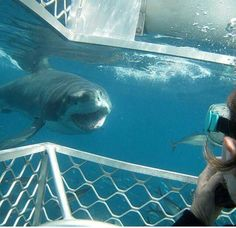 #SharksAreFriends and they are curious.  However, they are all in danger of extinction.  #SayNOtoFins