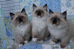 Ragdoll kittens-Rock Creek Ranch Ragdolls