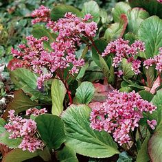 Bergenie - Immergrüne Pflanzen