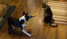 Poor Boston! The Mean Cat Stole the Toy! Watch ► http://www.bterrier.com/?p=28820 - https://www.facebook.com/bterrierdogs