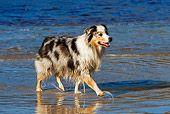 DOG 01 KH0066 01  Blue Merle Australian Shepherd Walking On Beach