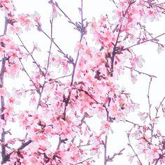 Cherry tree blooms