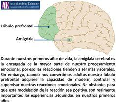 Infografía Neurociencias: Amígdala; Lóbulo prefrontal.  Material de uso libre, sólo se pide citar la fuente (Asociación Educar).  Más infografías: http://www.asociacioneducar.com/ilustraciones  Asociación Educar Ciencias y Neurociencias aplicadas al Desarrollo Humano www.asociacioneducar.com