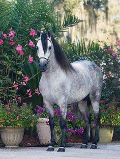 Classic Paso Fino champion stallion, Pirata de Quebrada.