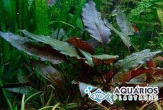 Planta de agua para aquário plantado Cryptocoryne Cordata Blassii.