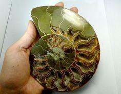 3239 CTS  MASSIVE   MADAGASCAR  AMMONITE  SPLIT RT 2269 ammonite, Madagascar ammonite, ammonite specimen