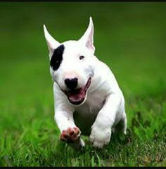 Happy running Bullie❤
