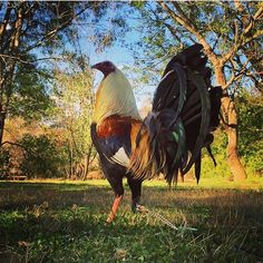 Beatiful grey @rene_sito #gallos #gallones #galleros #gamefowl #gallosgamefowlofficial #chicken ...
