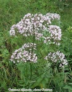Valeriana officinalis - ( Valerian, All-heal ) Part Used: Root. Medicinal Properties: Aromatic, Stimulant, Tonic, Anodyne, Antispasmodic, Nervine, Emmenagogue. Soothing nerve tonic. Tea, tincture, extract are CNS-depressant, antispasmodic, sedative, stimulant for fatigue, antibacterial, antidiuretic, liver-protective.