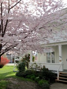 Cherry Blossom tree found in Ladner by the Boys & Girls Club building. Boys And Girls Club, Music School, Cherry Blossom Tree, May Flowers, April Showers, Plants, Community, Outdoor, Building