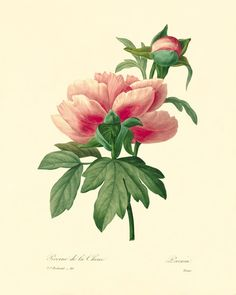 Vintage Pivoine botanical print