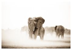 Sepia toned fine art wildlife print of elephants in dust