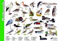 Herkenningskaart / zoekkaart Weidevogels