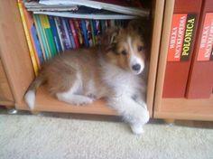 Sheltie pup hiding ~ MY SHELTIE LIKES TO SLEEP IN CORNERS, CLOSETS & UNDER DESKS ~
