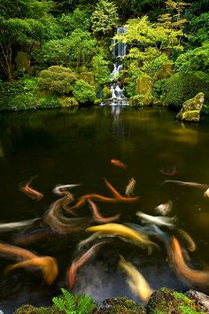 """bluepueblo:  Waterfall Koi Fish, Kyoto, Japan  photo via golden   """