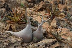 Socotra succulent plants - Adenium obesum