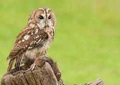 Tawny+Owl.jpg (808×573)