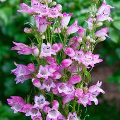 Present a green environment to your garden when using this Spring Hill Nurseries Pot Lavender Flowers Sunburst Ruby Penstemon Live Potted Perennial Plants. Spring Hill, Lavender Flowers, Flowers, Potted Lavender, Lavender Blossoms, Winter Plants, Perennials, Plants, Fall Plants