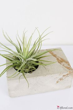 Concrete Block with Gold Accents and Live Air Plant