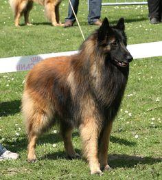 Clovis in Dogshow - 2010 #tervueren #sheepdog #studmale