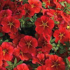 Calibrachoa  Aloha Cartwheel Red