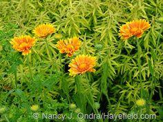 Gaillardia 'Oranges and Lemons' against Spiraea thunbergii 'Ogon' [Mellow Yellow]; Nancy J. Ondra at Hayefield