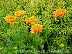 Gaillardia 'Oranges and Lemons' against Spiraea thunbergii 'Ogon' [Mellow Yellow]; Nancy J. Ondra at Hayefield
