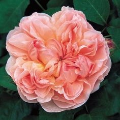 "Evelyn - David Austin Roses strong fragrance ""a sumptuous fruity note reminiscent of fresh peaches and apricot"""