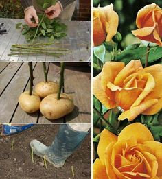 How to Growing Roses Using Potatoes Links to: http://www.amateurgardening.com/home/taking-rose-cuttings/