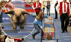 Hop to it: Rabbit showjumping enjoys rise in popularity as a spectator sport
