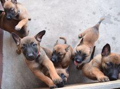 Guarda do Rio ganha reforço de sete filhotes – Bom Pra Cachorro
