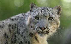 The Elusive Snow Leopard Works Magic in the Mountains of Asia