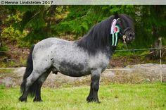 blue roan - Shetland Pony stallion Kakkulanmäen Iceman