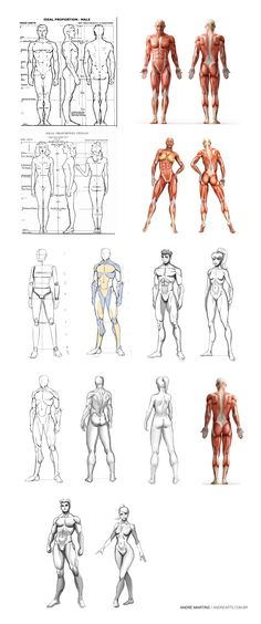 Anatomy Study ( Stylized ) - Estudo de Anatomia ( Estilizado )  Anatomy and proportions of male and female human body.  Anatomia e proporções do corpo humano masculino e feminino. By Andre Martins | andrearts.com.br
