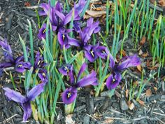 Mini Iris blooms