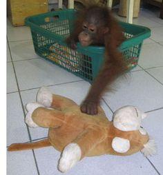 'Come here Monkey, it's playtime' - Baby Orangutan Primates, Orangutan Monkey, Forest Conservation, Kitten Cartoon, Cute Monkey, Monkey Business, Baby Animals, Cute Babies, Dog Cat