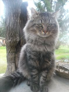Beautiful cat, European cat.