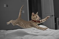 Zuzu the Ocicat. Oci-athleticism!