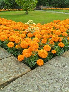 Orange Pom Pom Marigolds, Sutton Coldfield, England All Original Photography by . Orange Pom Pom M Front Garden Landscape, Front Yard Landscaping, Beautiful Flowers Garden, Beautiful Gardens, Marigolds In Garden, Flower Garden Design, Garden Yard Ideas, Dream Garden, Garden Inspiration