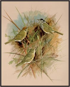 """Basil Ede-""""Birds of Town and Village"""""""