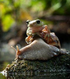 La grenouille a été photographiée alors qu'elle était montée sur le dos d'un escargot