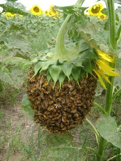 Bees swarming on a Sunflower
