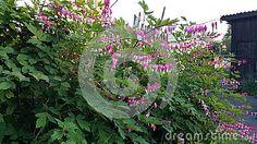 Flowering bush in summer in June in Siberia in Russia