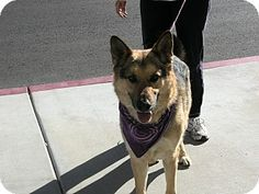 Hidalgo is a 5 year old German Shepherd available for adoption in Las Vegas. He is a very mellow dog. He knows sit & shake. Hidalgo is neutered, vaccinated, microchipped and comes with a free vet visit. Hidalgo will be available for adoption on Saturday from 11:00am-3:00pm at Petco located on 3890 Blue Diamond Rd just off of I-15 South. (cross streets Blue Diamond & Valley View) Adoption fee applies. Contact Renee at arprenee@gmail.com if interested in Hidalgo.