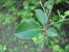 Prunus mahaleb Rosaceae