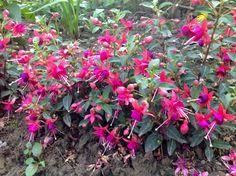 Fuchsia magellanica. Bellenplant